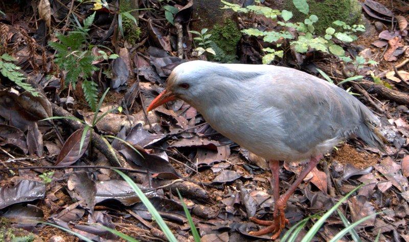 Cagou endemic bird of New Caledonia