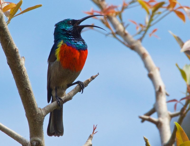 Greater doubled collared Sunbird