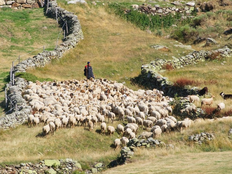 Sheep herding in the Incle valley