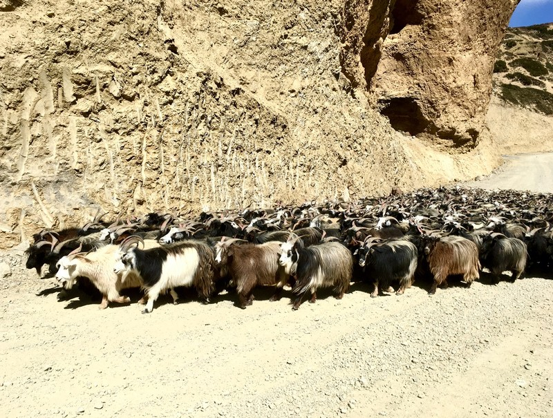 More changra (goats) on the road