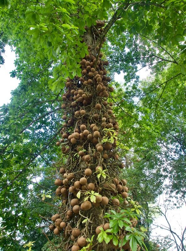 Canon ball tree