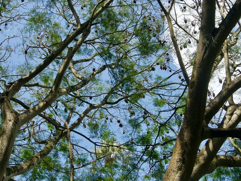 Fruit bats in botanical garden