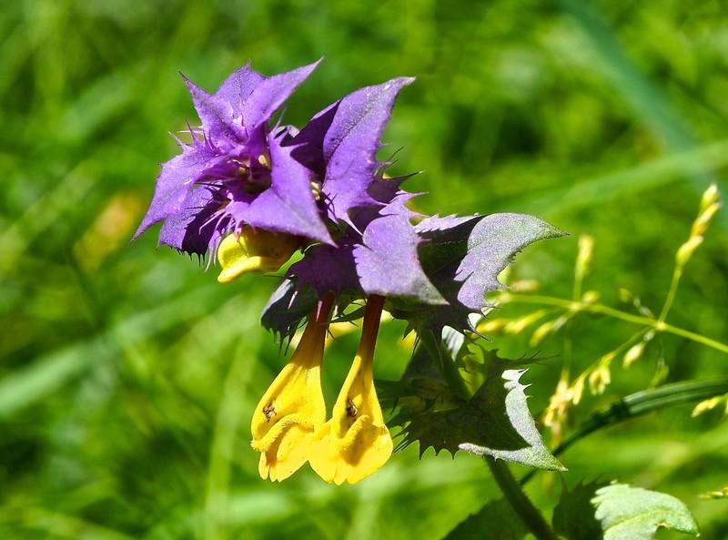 Estonian Wildflower