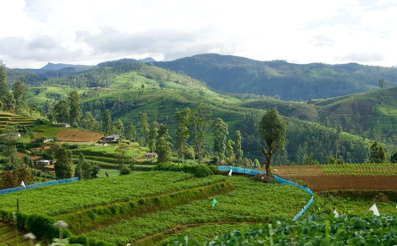 Tea plantation from the train