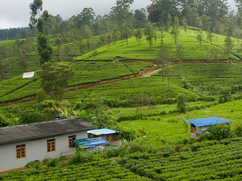 More tea plantation from the train