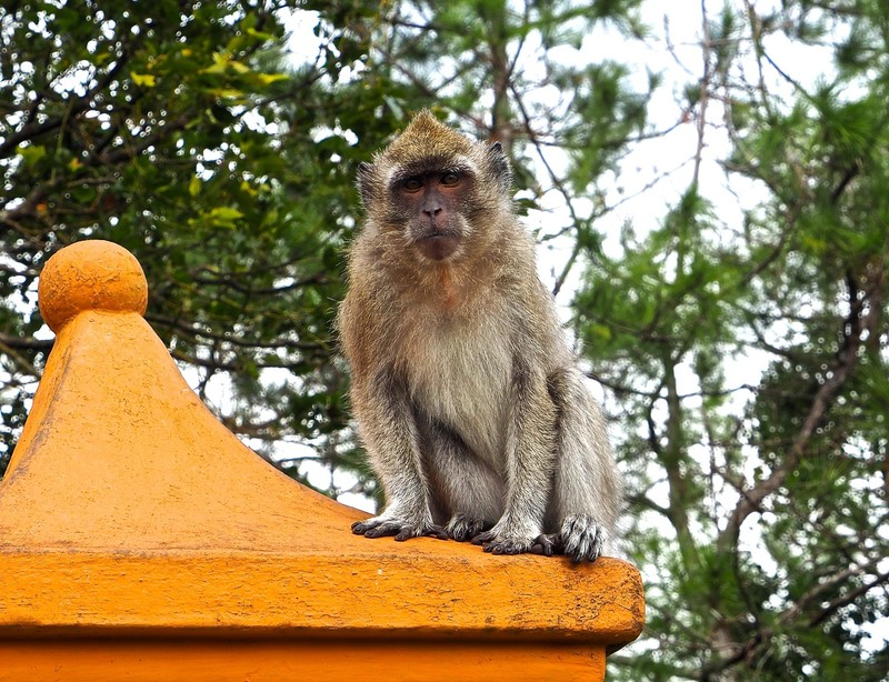 Long Tailed Macaque at Grand Bassin