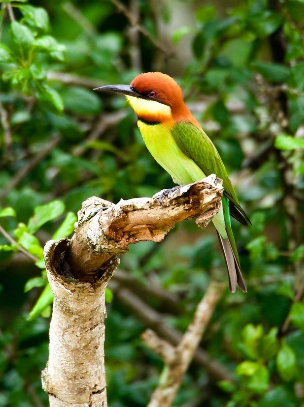 Chestnut Crowned Bee Eater