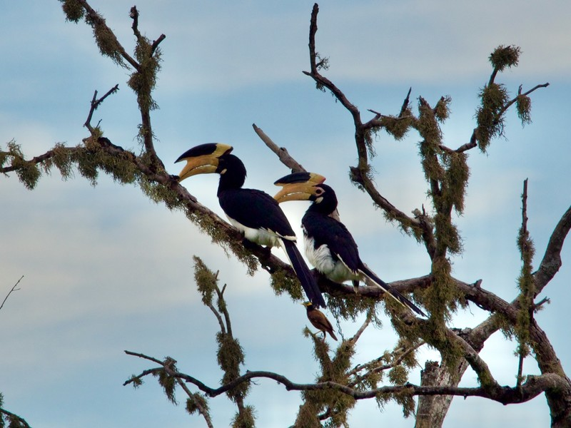 Oriential Pied Hornbill