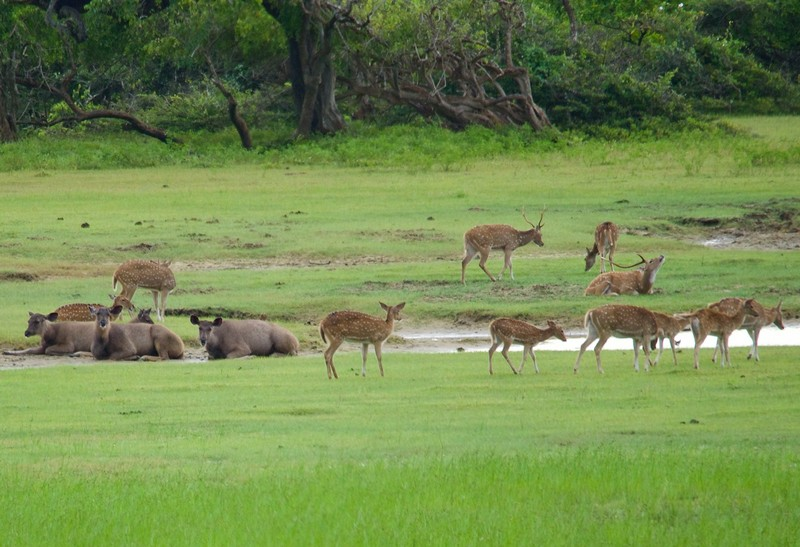 Samba and Spotted deer