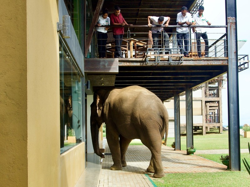 Elephant attempting to enter reception