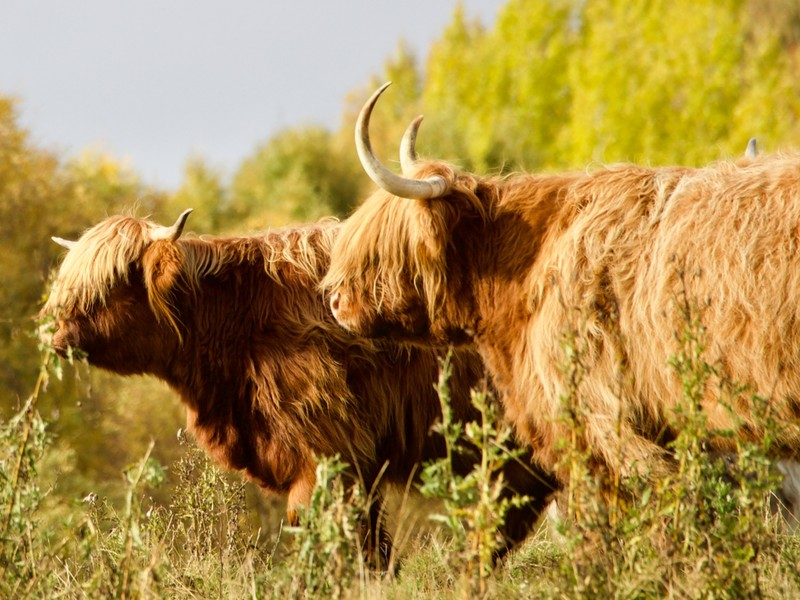 More Highland Cattle