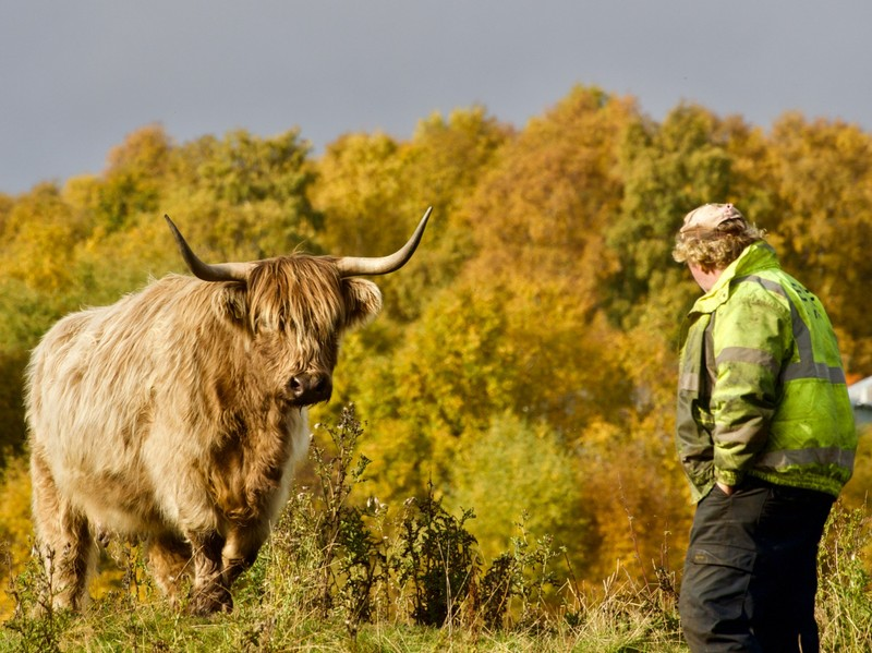 Highland Cattle and farmer