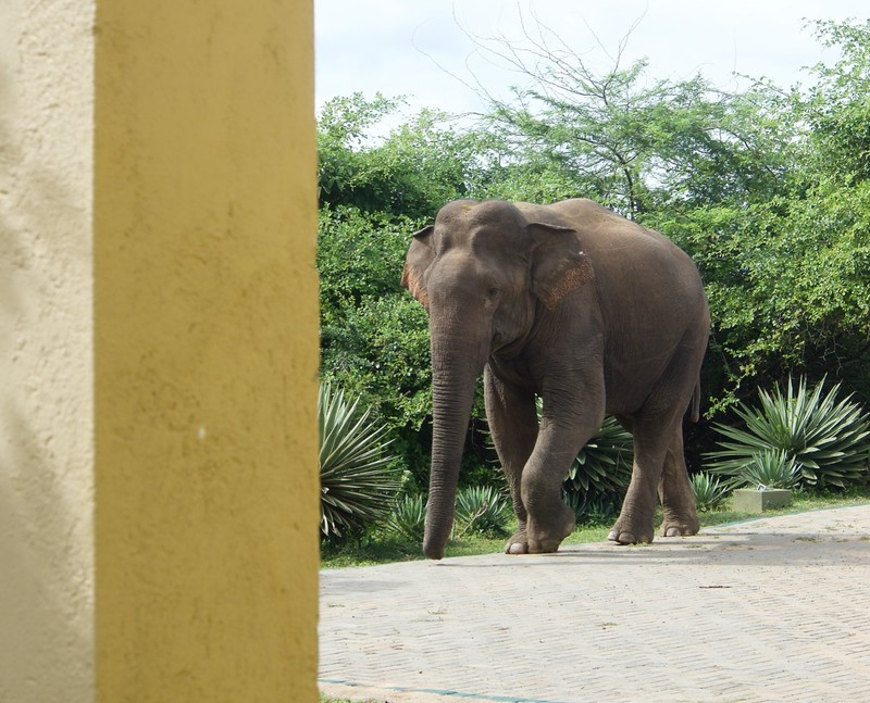Elephant entering the hotel complex