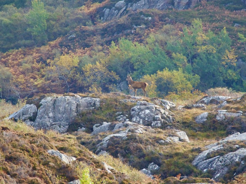 Red Deer on a cliff