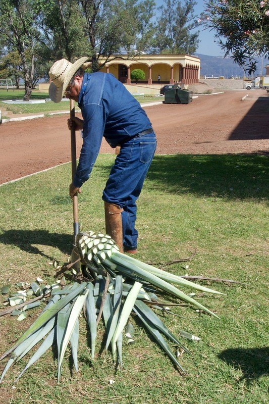 Preparing the agave plant