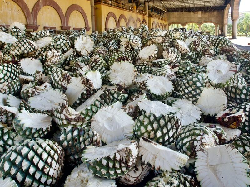 Agave ready for processing at Casa Herradura