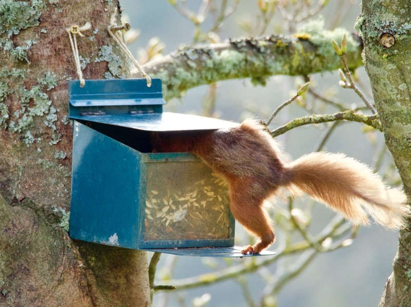 Acrobatic Red Squirrel looking for his dinner