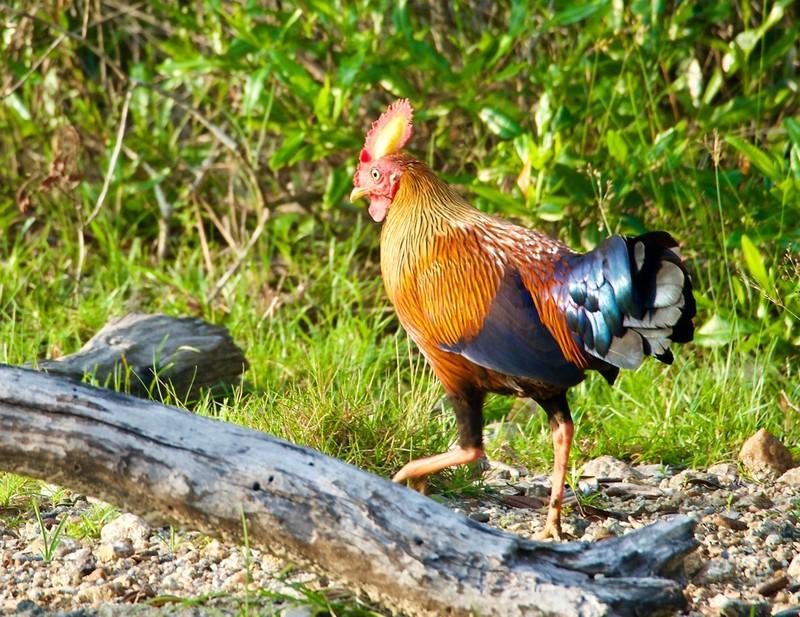 Jungle fowl, Sri Lanka National Bird