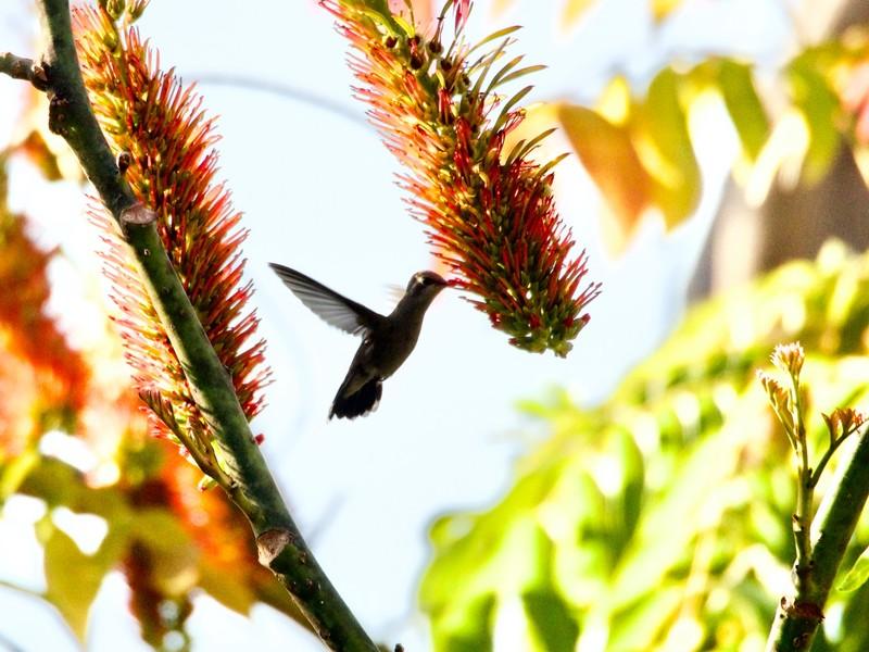 Humming bird in our garden in Uruapan