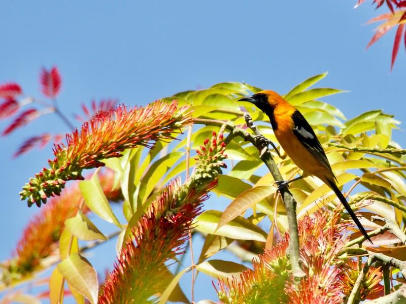 Bird life in our garden in Uruapan