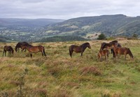 Wild Ponies of Exmoor National Park