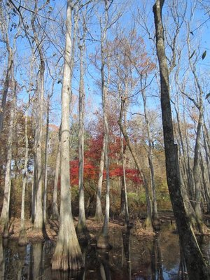 Cypress Swamp on Natchez Trace Parkway