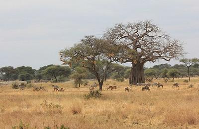 zebra, impala, wildebeest