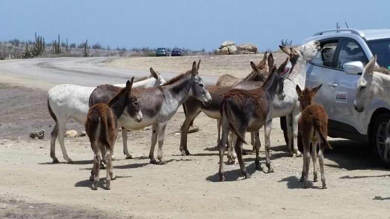 Wild donkeys looking for a meal