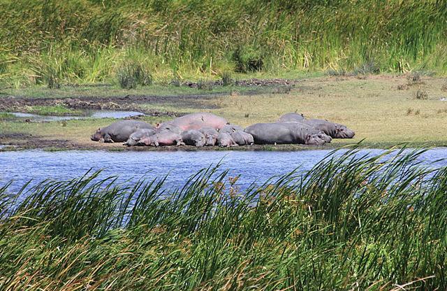 Hippo naps
