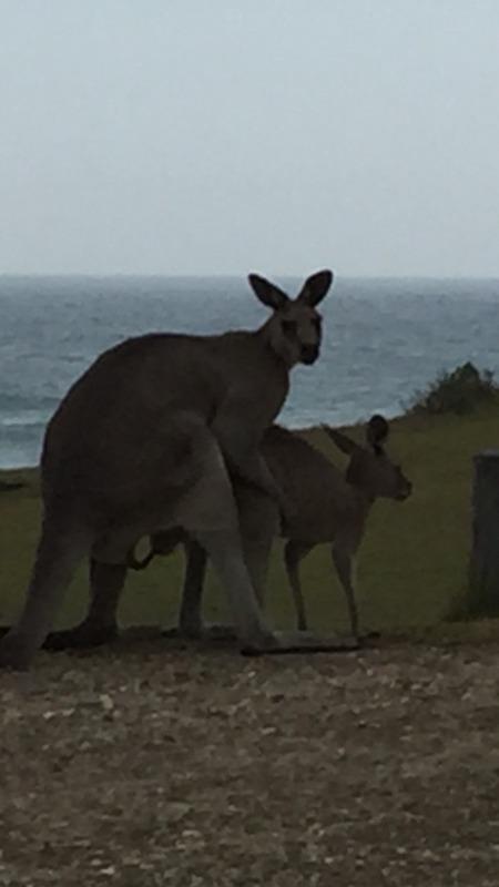 Kangaroo shenanigans