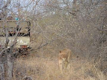 Lions passing a car