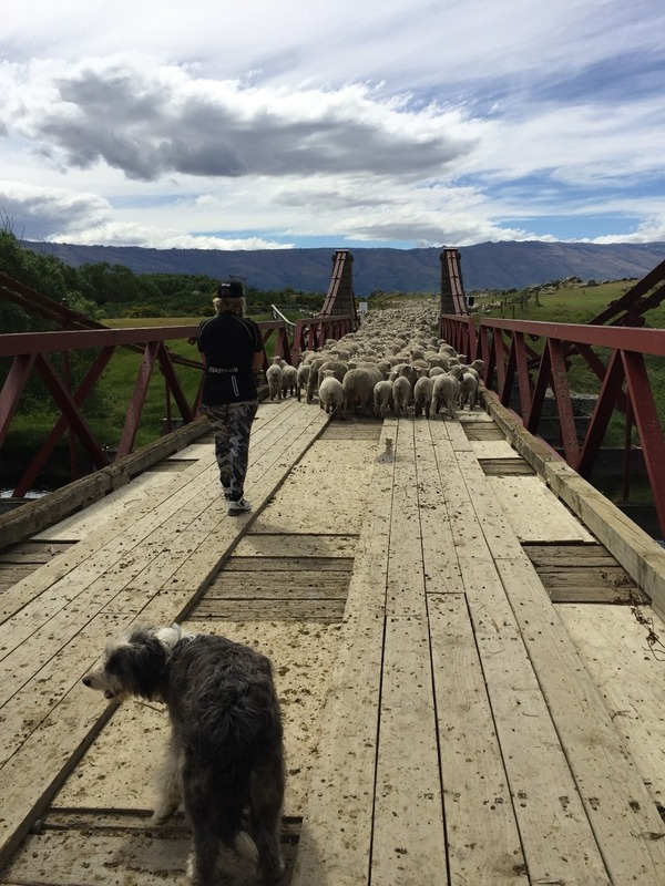 Sheep chaos