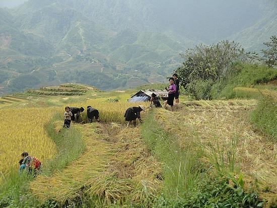 Families harvesting