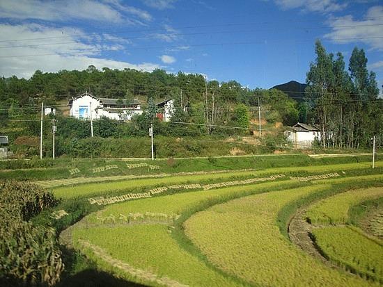 Golden rice fields & white houses