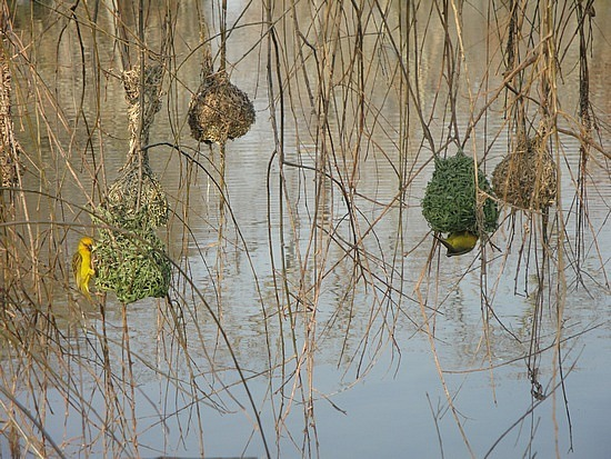 Yellow birds that live in them