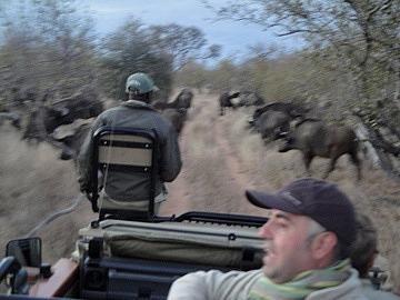Driving through herd of Water Buffalo