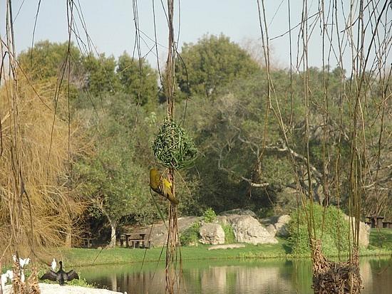 Spier estate - bird nests in a wlilow tree