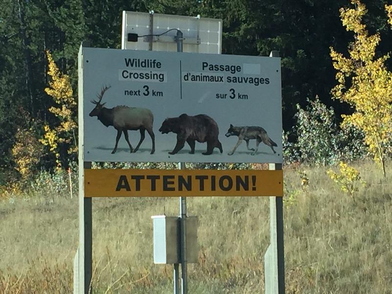 Animals that wander into Banff