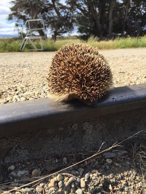 Hedgehog on the railway line