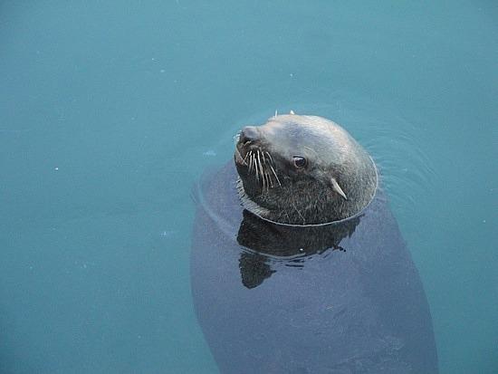 Bitty Boy the seal