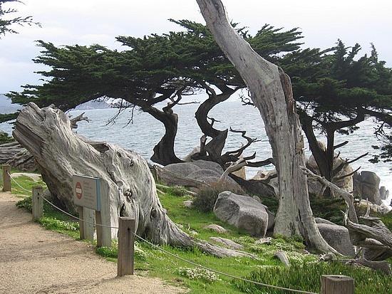 Windblown trees