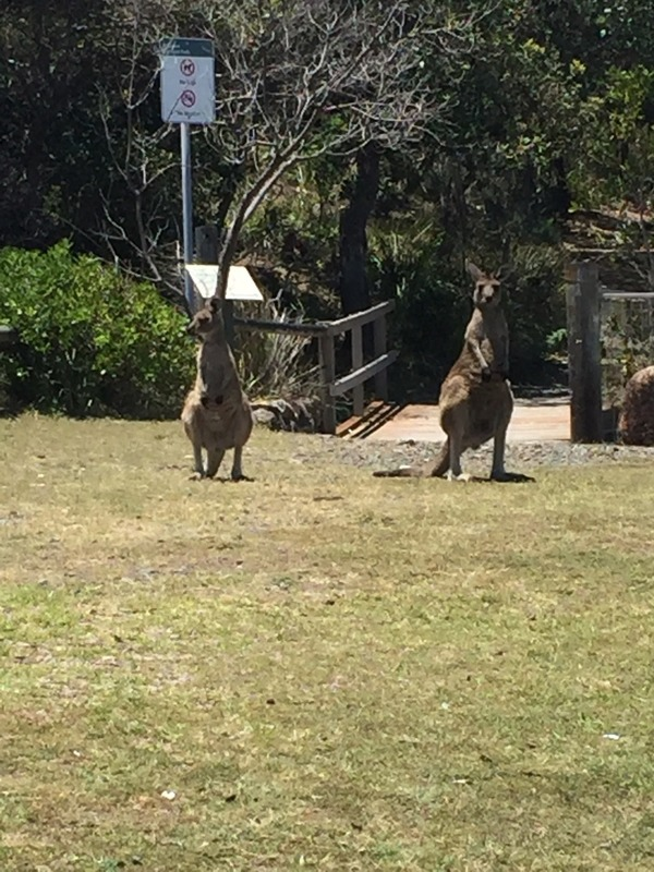Kangaroos on the walk