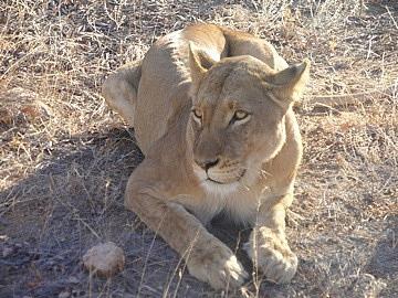 Mamma lion