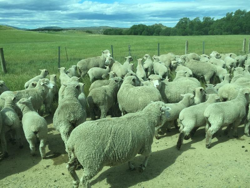 Sheep panicking