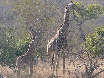 Mother & baby giraffe