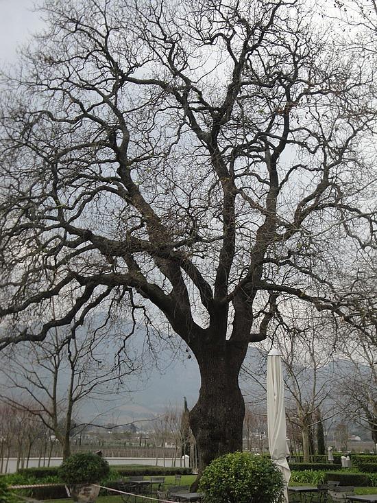 Massive courtyard tree