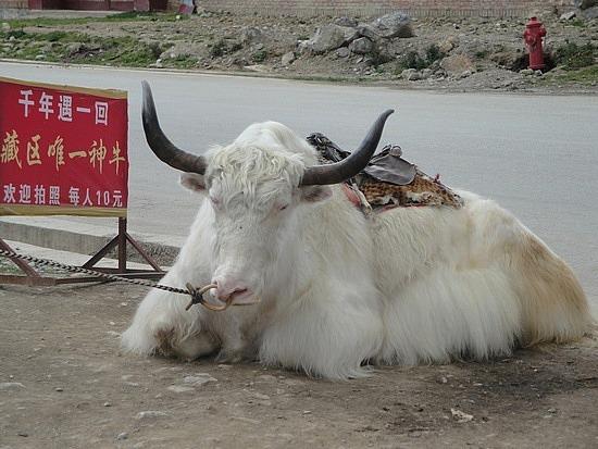 Massive yak