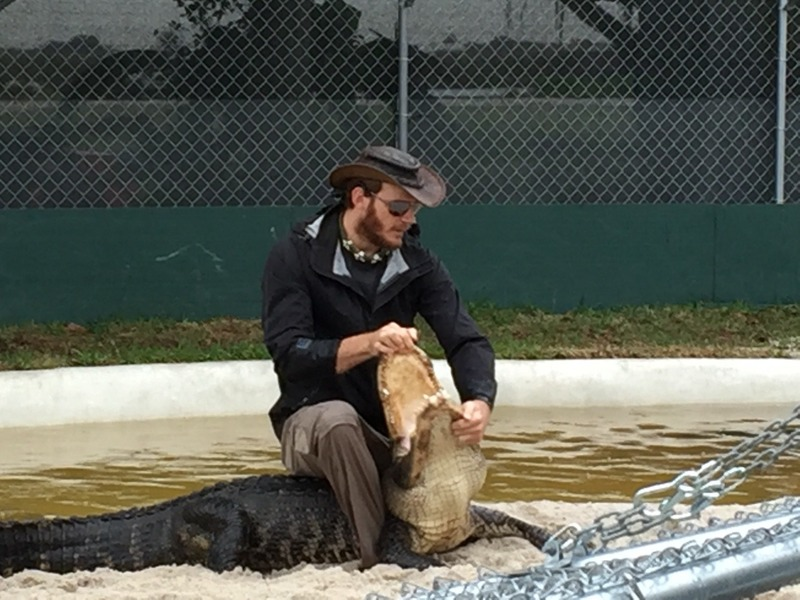 Holding open the gators mouth