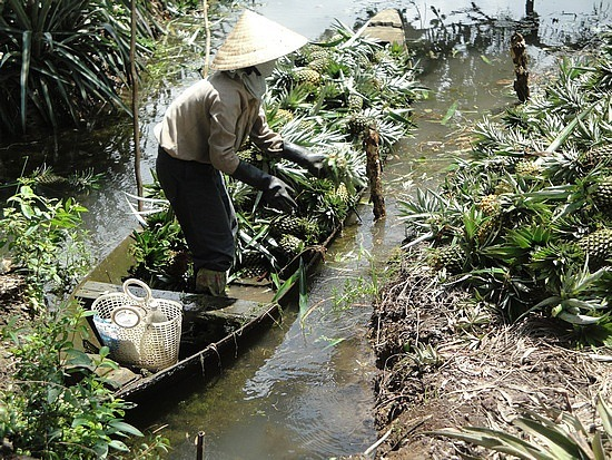 Pineapple harvesting into a boat