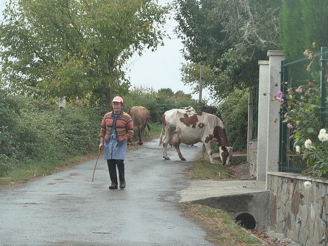 Locals herding cows